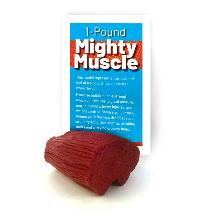 mighty muscle model, 1 pound of flexed muscle tissue look and feel, Health Edco, 26021