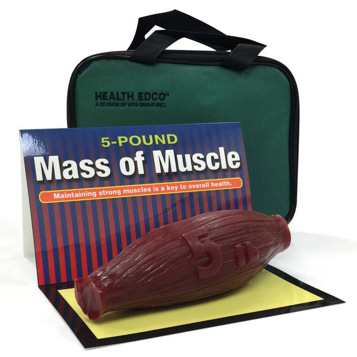 mass of muscle model, 5 pound, look and feel of muscle at rest, Health Edco, 26034