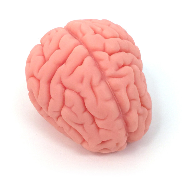 brain model, soft realistic brain model, Health Edco, 27015