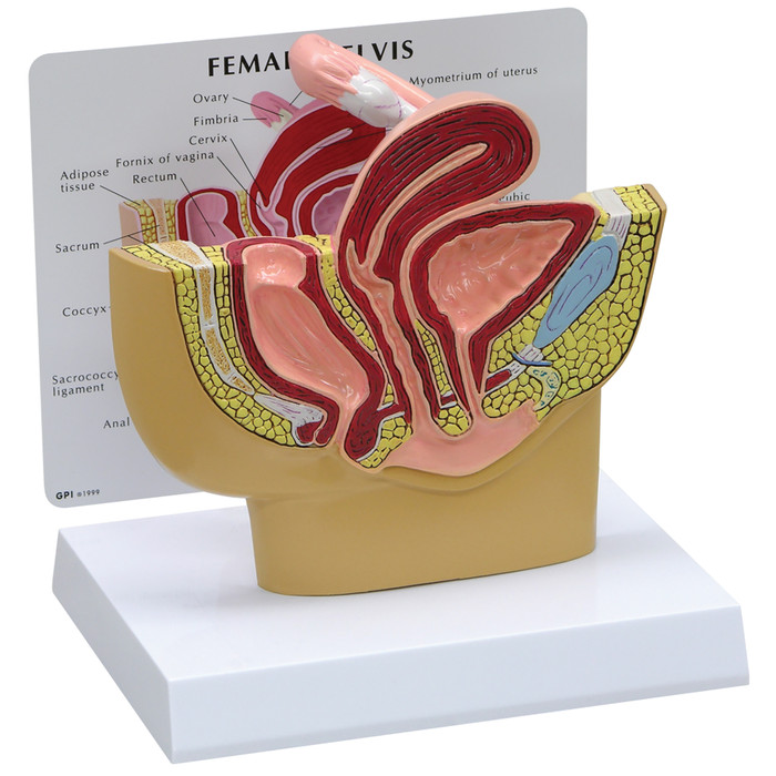 3D female pelvis model cutaway with stand up card with organs identified, Health Edco, 52448