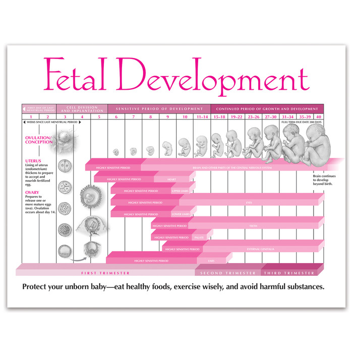 Fetal Development Tear Pad from Childbirth Graphics with educational and illustrated foetal development timeline, 52554