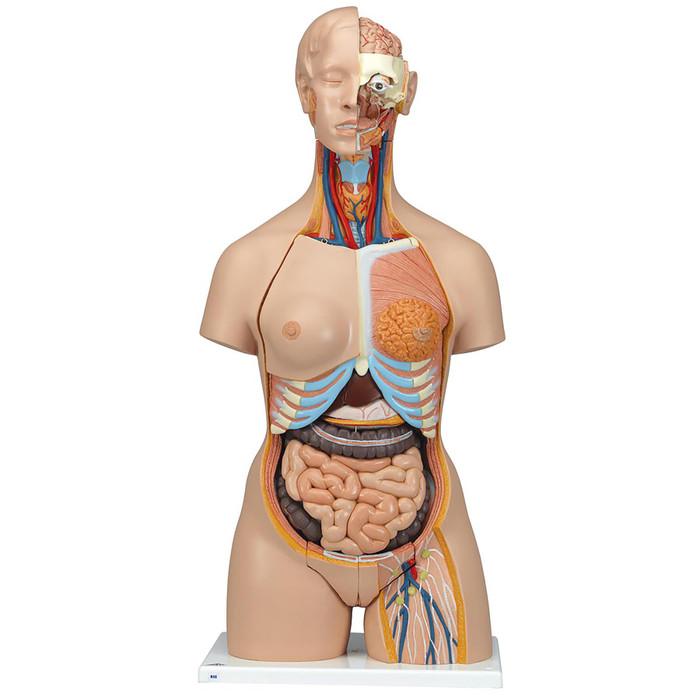 Human Anatomy Torso Model Gallery Human Body Anatomy