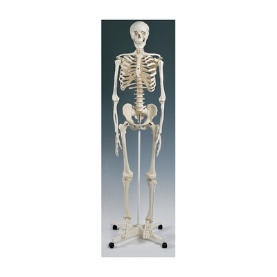 "Standard Skeleton Model suspended version, 67"" skeleton can hang by head, Health Edco, 64002"