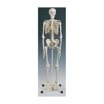 "Standard Skeleton Model suspended version, 67"" skeleton can hang by head, Health Edco, 64002"