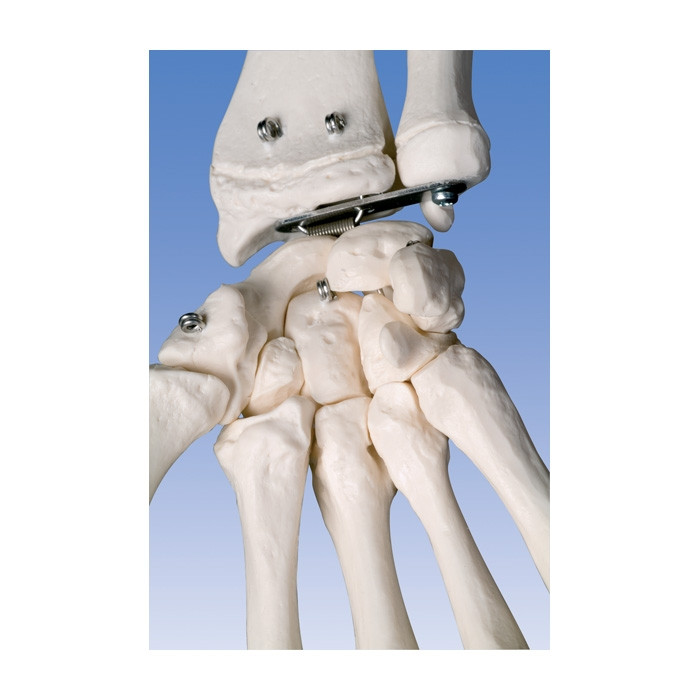 Standard Skeleton Model suspended version, closeup of wrist bones, Health Edco, 64002