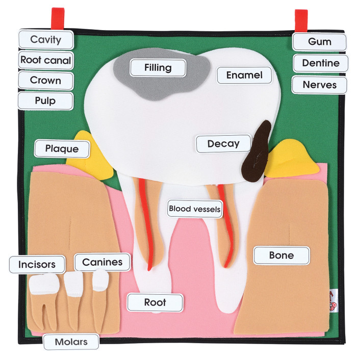 Big Tooth Model hanging display for PSHE and oral and dental health education to teach of dental and teeth anatomy, 78856
