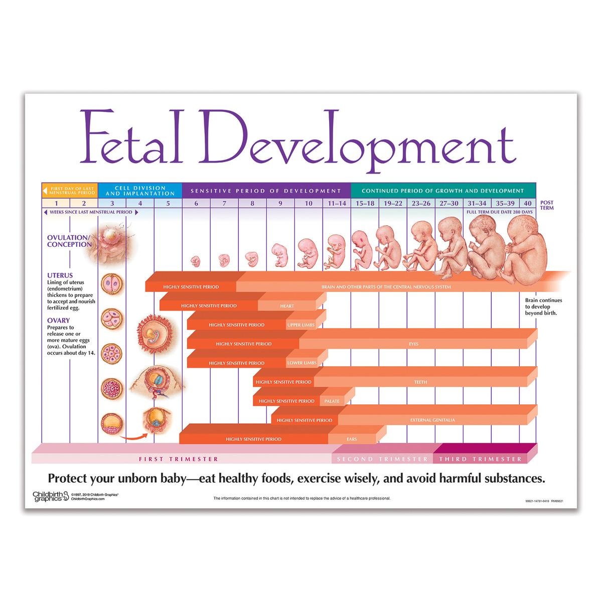 Timeline of pregnancy chart fetal development chart nvjuhfo Choice Image